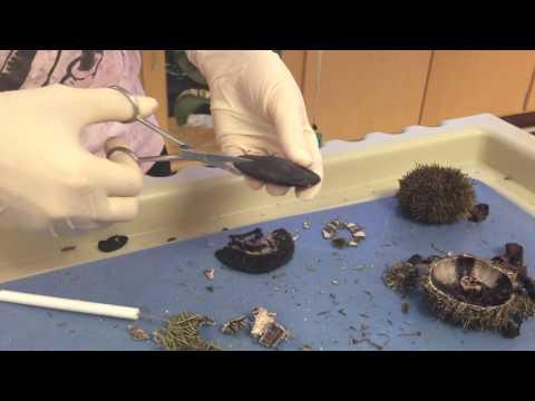 Sea Urchin & Sand Dollar Dissection (Part2)- Coe