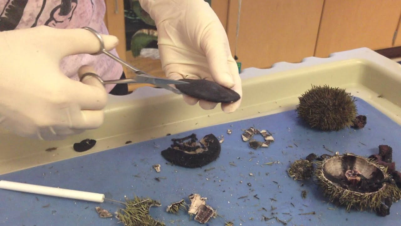 Sea Urchin & Sand Dollar Dissection (Part2)- Coe - YouTube