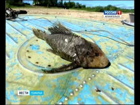 В Виноградовском районе на Северной Двине выловили необычную рыбу