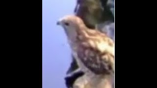 Surveillance Camera Footage Caught Red Tailed Hawk Fishing in my Koi Pond!