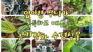 잎이 예쁘고 줄무늬가 있는 수경식물 이름알기! 잘 키우…