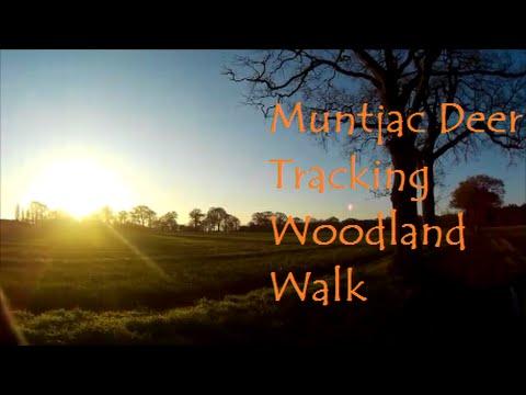 Barking Muntjac Deer Tracking ,Woodland walk