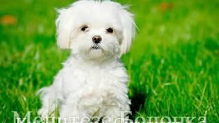 Маленькие породы собак | Популярные для дома | 🐶🐶🐶 #2 (Часть1)