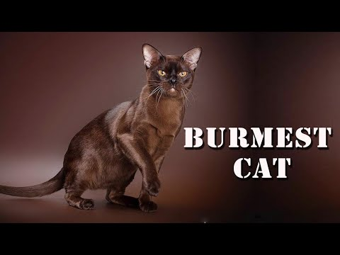 BURMESE CAT | THE DOMESTIC CAT BREED | ANIMAL BEAST
