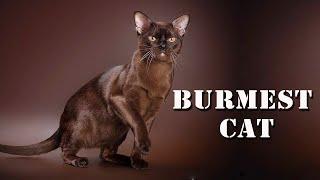 BURMESE CAT | THE DOMESTIC CAT BREED | ANIMAL BEAST
