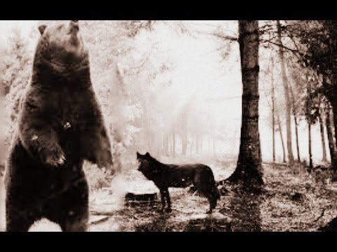 Bears & Wolves of Yellowstone[Nature Documentary]HD