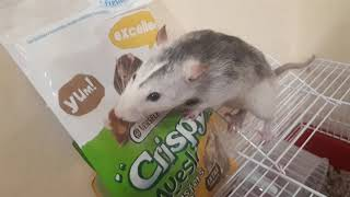 Наша первая крыса? Уход за крысой. Чем кормить крысу? Крыса Дамбо.