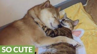 謹賀新年。幸せそうで平和そうで悩みのなさそうな柴犬と猫の寝顔で新しい年を寿ごう