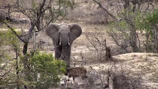 Djuma: Nyala male meets Elephant - 11:08 - 11/10/18
