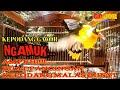 Kepodang Gacor Teler Ngamuk Emosi Ampuh Buat Pancingan Kepodang Malas Bunyi  Gogor  Mp3 - Mp4 Download