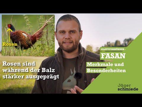 Feldhühner [Teil 2/6]: Fasan! Viel Spaß bei deiner Jagd nach Wissen!