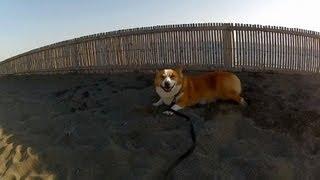 Dogs In Beach / サザンビーチ茅ヶ崎 20121021 Goro@welsh Corgi