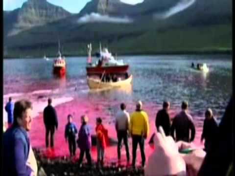 Whaling in Faroe Islands, grindadrap
