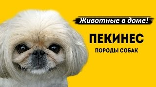 Пекинес - породы собак.