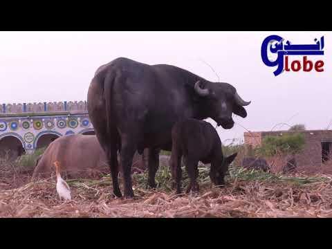Kundhi Baby Buffaloes Of Dosu Jatt || Banni babies Buffalo | bauffalo Babbies || banni ke chote kate