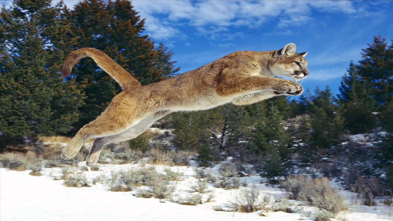 sonnette cougar women See a rich collection of stock images, vectors, or photos for cougar woman you can buy on shutterstock explore quality images, photos, art & more.