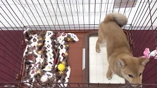 ユアペティア保木間店 - 柴犬 男の子 2018/12/6 thumbnail