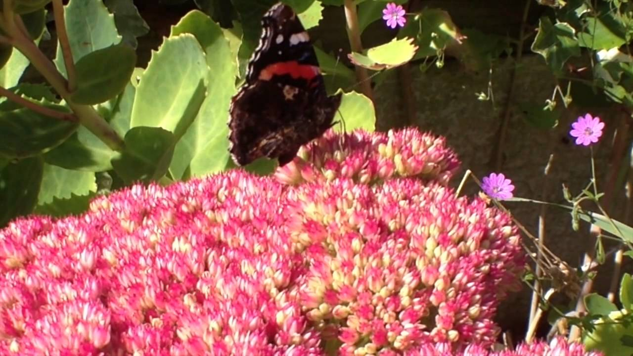 Red Admiral Butterflies, do they hibernate in Britain