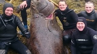 BIG HALIBUT Russians  killed Norwegian monster thumbnail