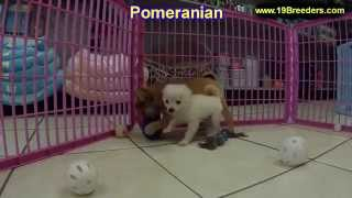Pomeranian, Puppies, For, Sale, In, New Orleans, Louisiana, La, Jefferson, Bayou Blue, Moss Bluff, W