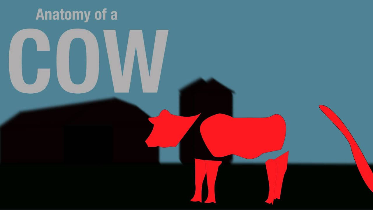 Anatomy of a cow - YouTube