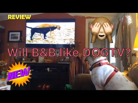 Does B & B like DOGTV? |ENGLISH BULLDOG| YORKIE