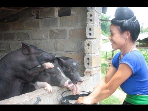 Việt Nam: Thu nhập nông dân tăng lên nhờ nuôi lợn