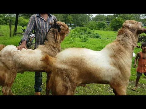 Gulabi Patira And Kota At Desi Goats