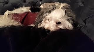 Собака после операции. 1 день. Удаляли опухоли с молочных желез.