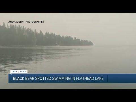 Black bear spotted swimming in Flathead Lake