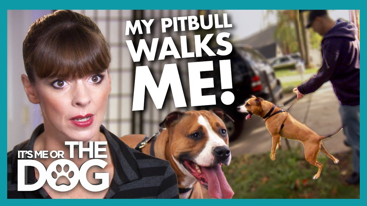 Over-stimulated Pitbull Pulls Owners around the Neighbourhood! | It's Me or The Dog
