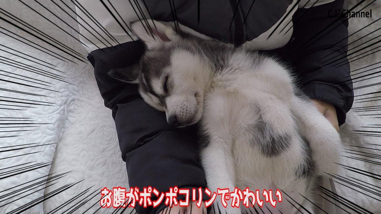 子犬 シベリアン ハスキー シベリアンハスキー |