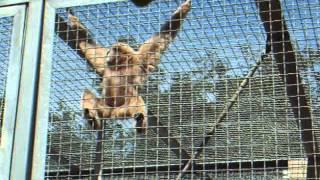 Le singe hurleur...