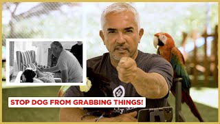 How To Stop Your Dog From Grabbing Things! (Cesar's Science)