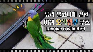 야생 앵무새 구조, 발코니 유리에 갇힌 야생 새를 구조…