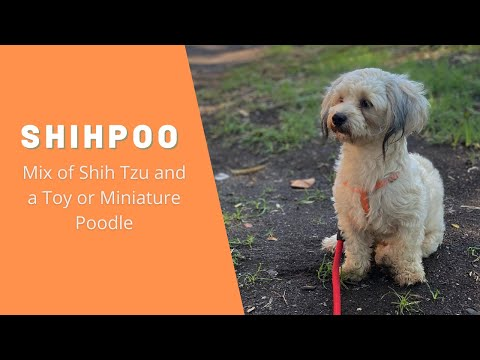 Shihpoo - Great Mix of Shih Tzu and a Toy or Miniature Poodle