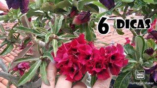 Como Fazer Florir Suas Rosas Do Deserto