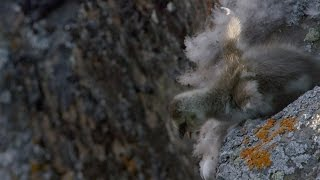 Base-jumping barnacle goose - Life Story: Episode 1 Preview - BBC One