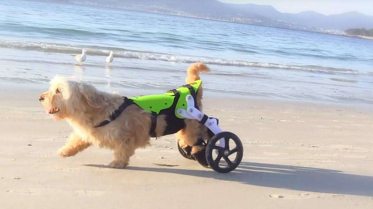 Randy un perro campe n en silla de ruedas winner dog for Sillas para perros