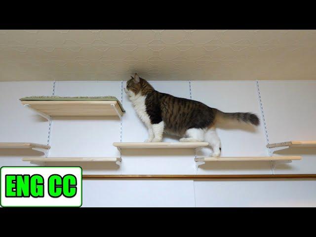 ボス吉がついに猫部屋キャットウォークの新通路を進みました【Eng CC】