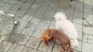 Голуби-собаки