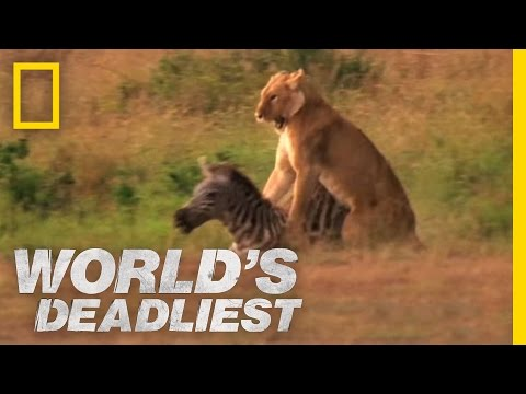 Lion's Killer Claws | World's Deadliest