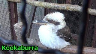 Kookaburra puffer and singing ワライカワセミ 笑ったり膨らんだり【こども動物自然公園】 thumbnail