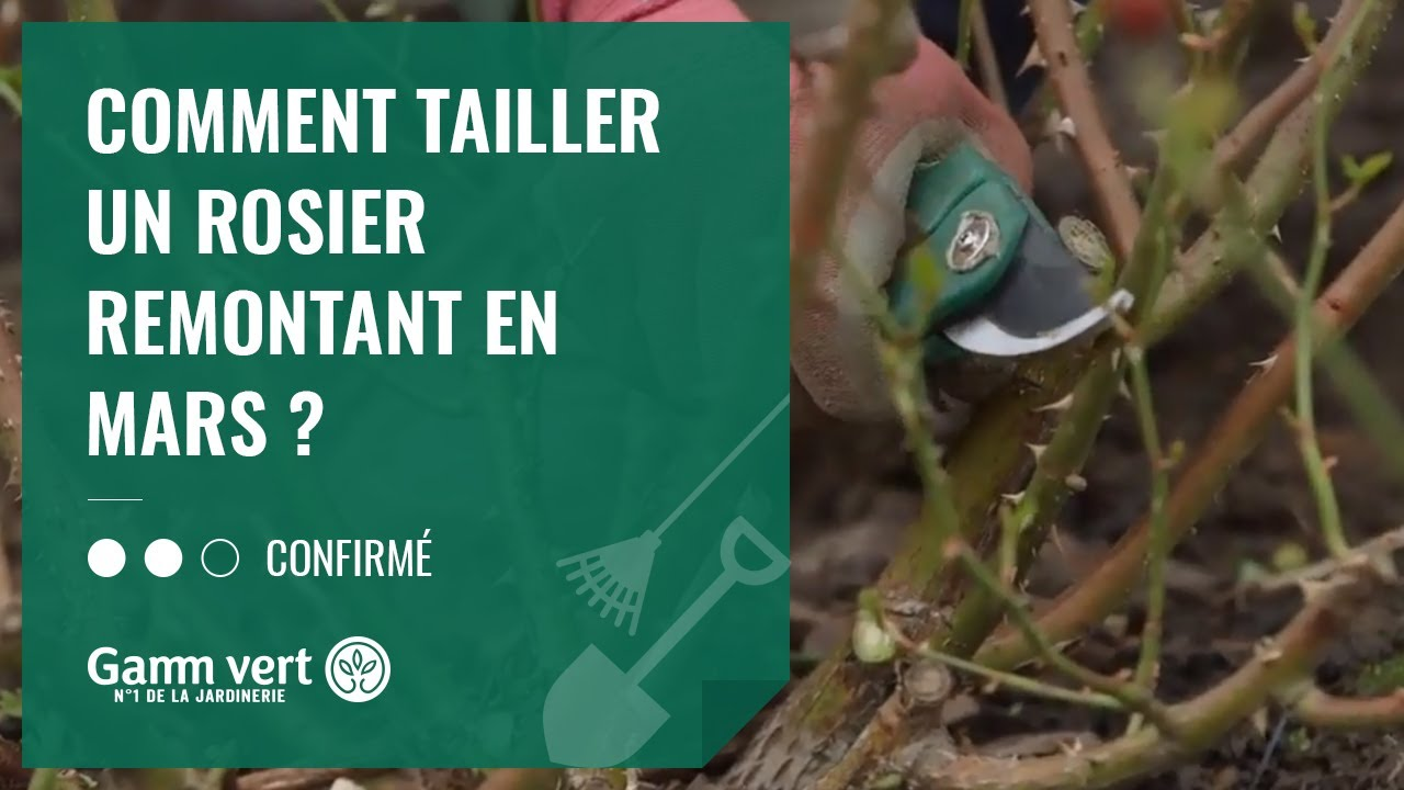 Tuto Comment Tailler Un Rosier Remontant En Mars Jardinerie Gamm Vert