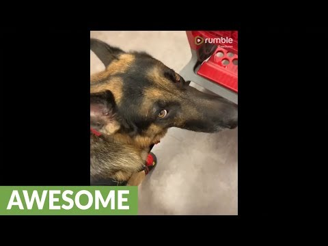 Service dog helps owner with the groceries
