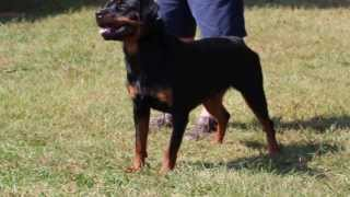 Busa Vom Hause Harless - Rottweiler Youth - Airk Sieger Show North Carolina