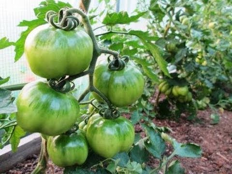 10 terrific tomato growing tips growing perfect tomatoes for Terrace krishi