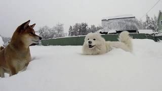 Самоед и Шиба-ину в снегу. Собаки радуются глубокому снегу