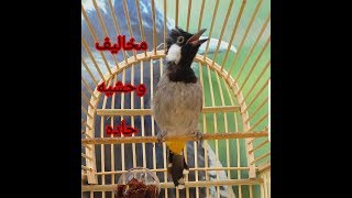 تغريد مخاليف وحشيه كاع منفذ مندلي طيور نظيفه وصوت صافي /