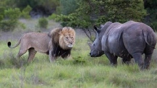 ライオンのサイと最高のシーンとの戦い ライオンのサイと最高のシーンと...